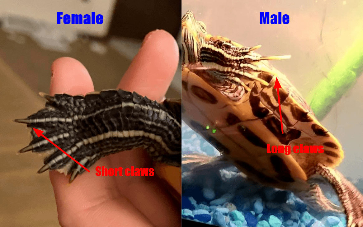 Red eared slider gender by claws