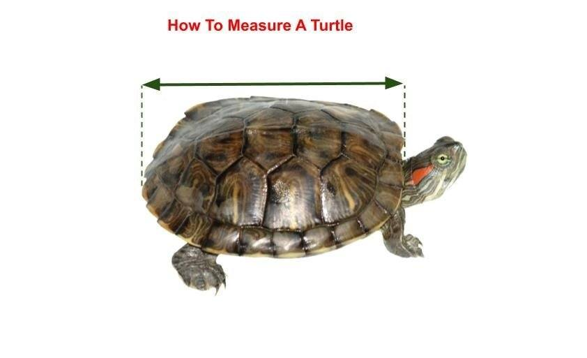 Turtle Straight Carapace Length