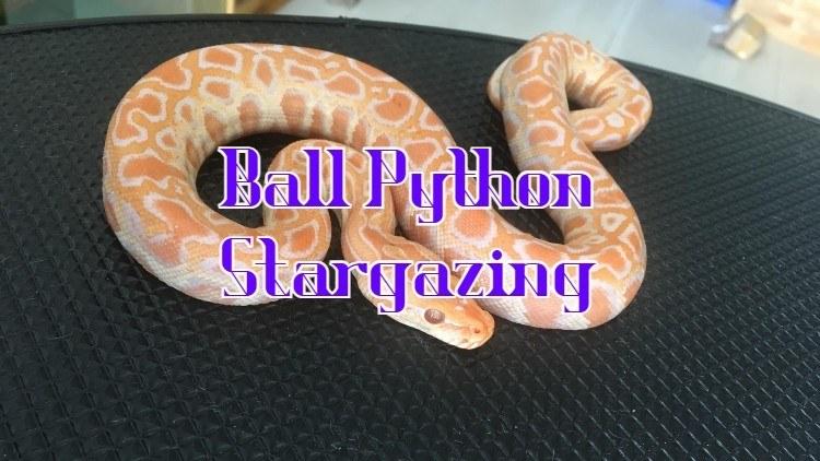 ball python stargazing