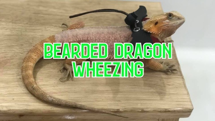 bearded dragon wheezing