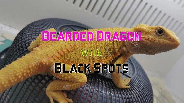 black spots on bearded dragon