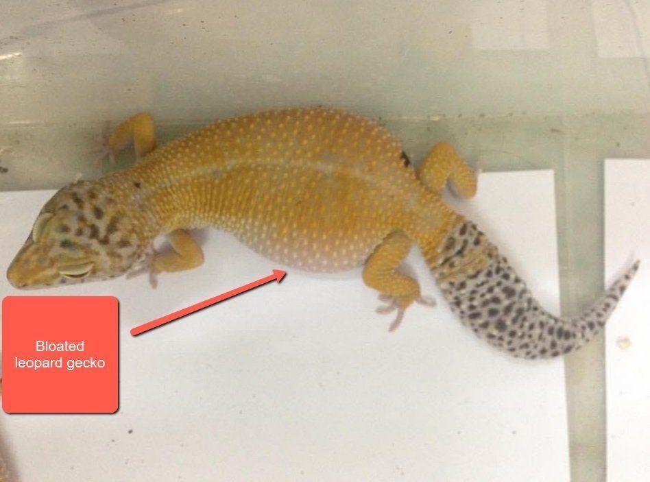 bloated leopard gecko