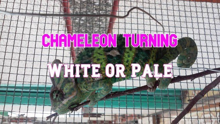 chameleon turning white or pale