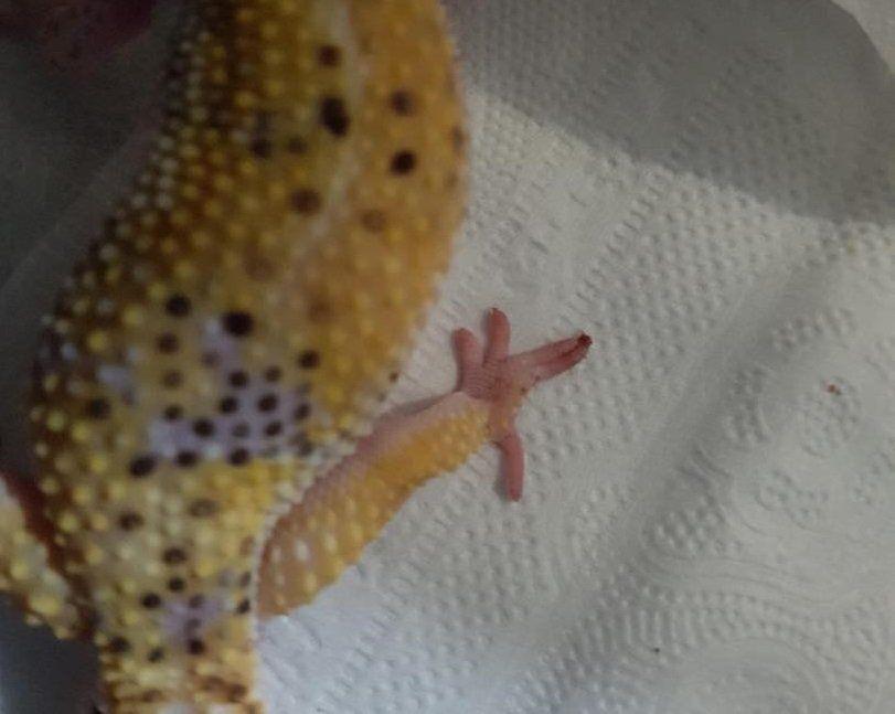 leopard gecko bendy toe
