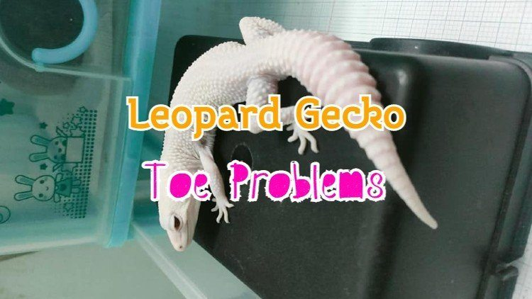 leopard gecko toes