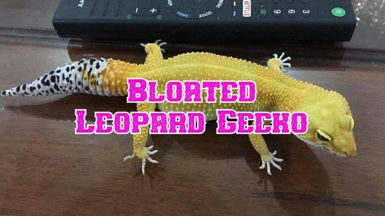 leopard gecko bloated