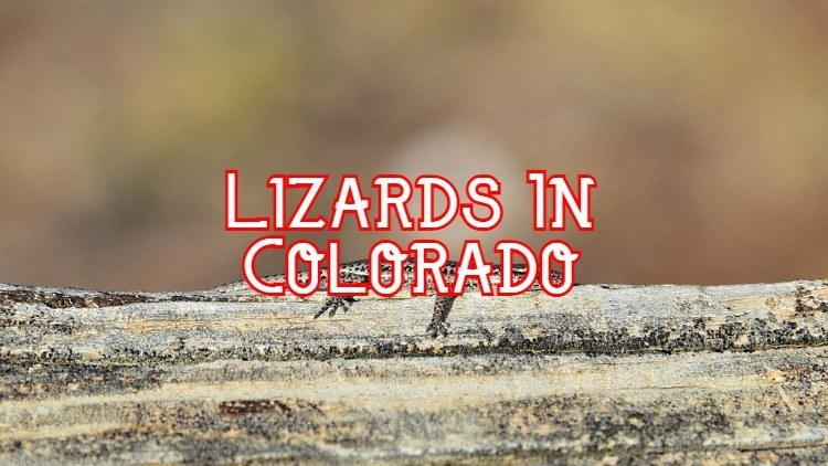 lizards in Colorado