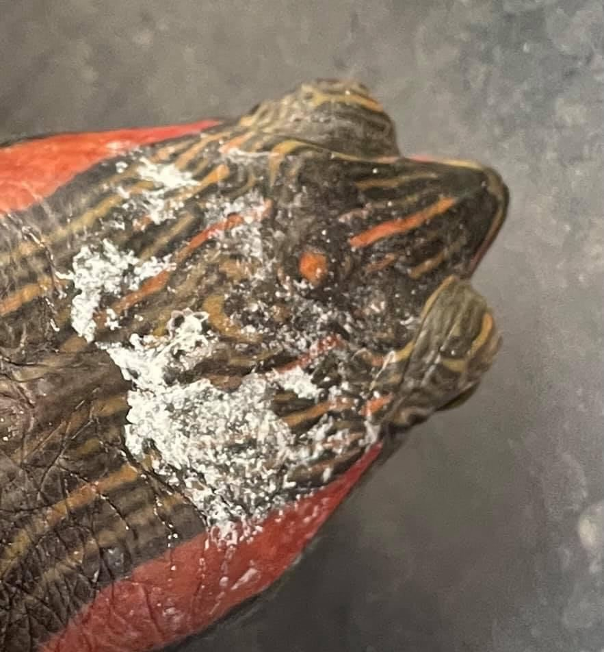 red eared slider fungus