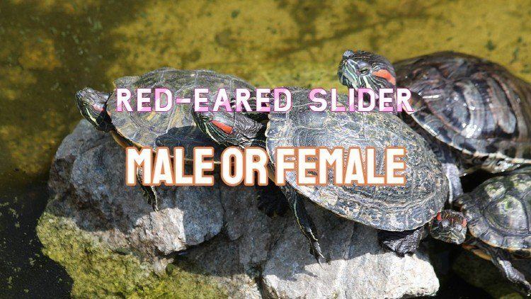 red eared slider male or female