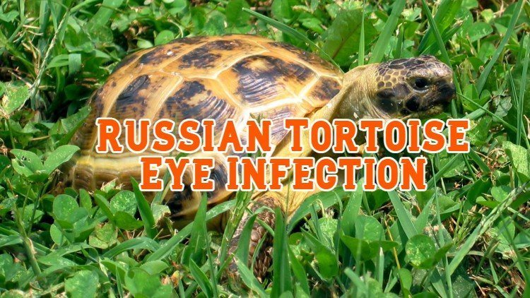 russian tortoise eye infection