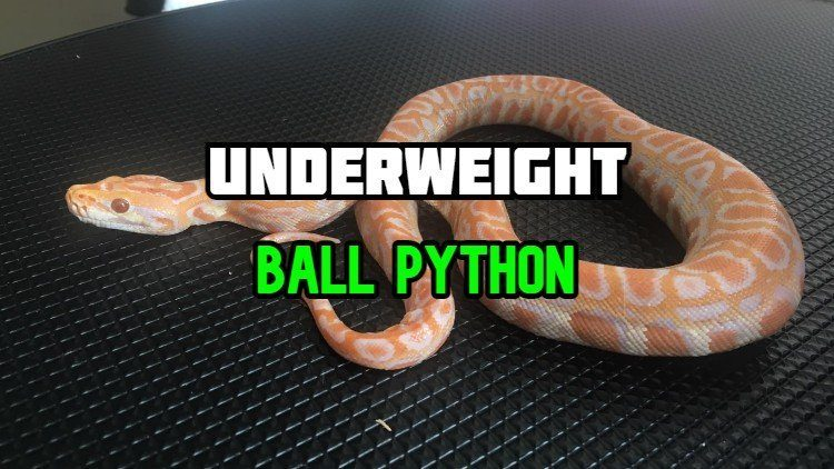 underweight ball python