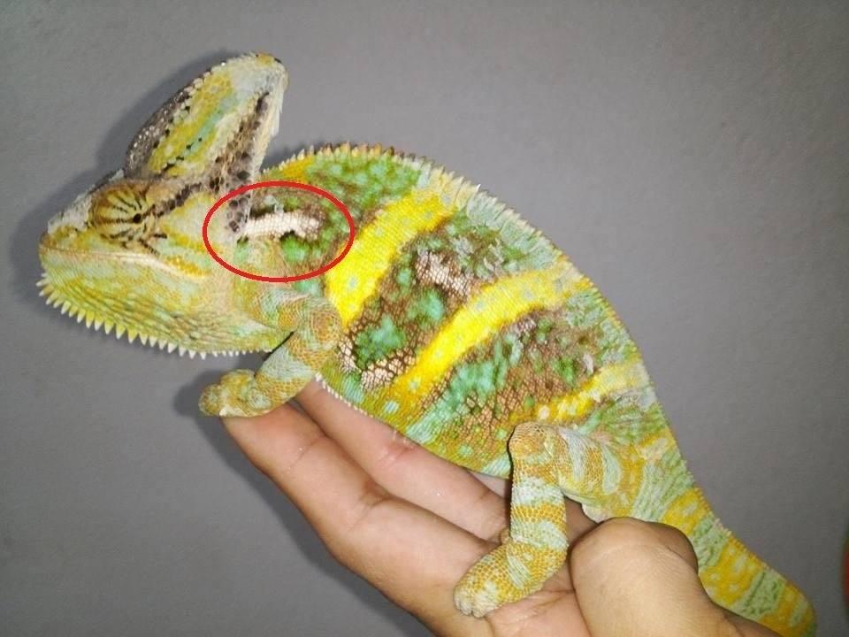 white spots on chameleon