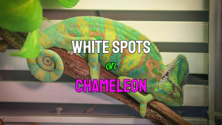 white spots on chameleon
