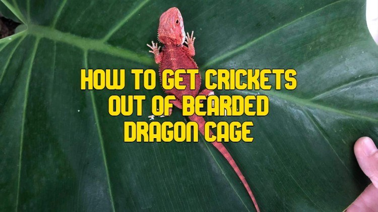 How To Get Crickets Out Of Bearded Dragon Cage
