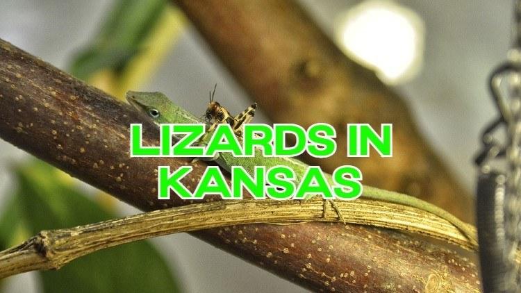 Lizards in Kansas