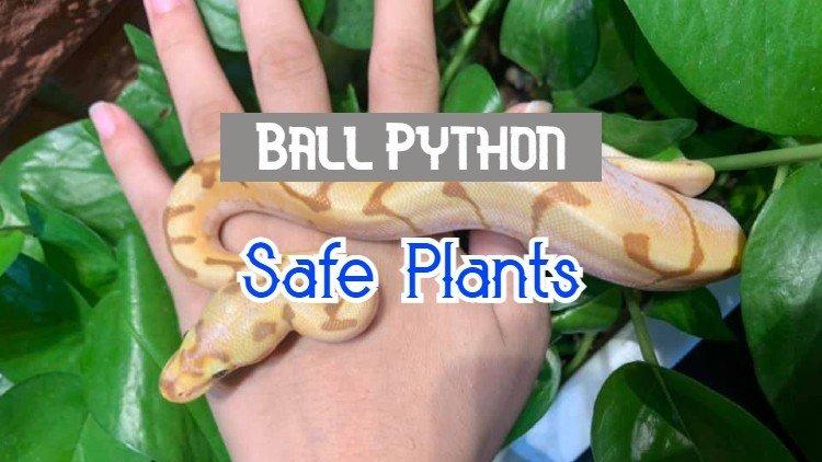 ball python plants