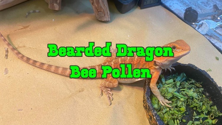bee pollen for bearded dragons