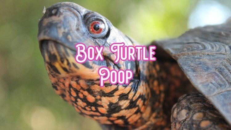 box turtle poop