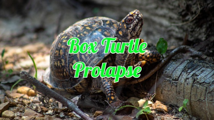 box turtle prolapse