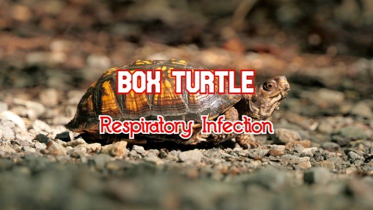 box turtle respiratory infection