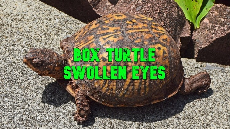 box turtle swollen eyes