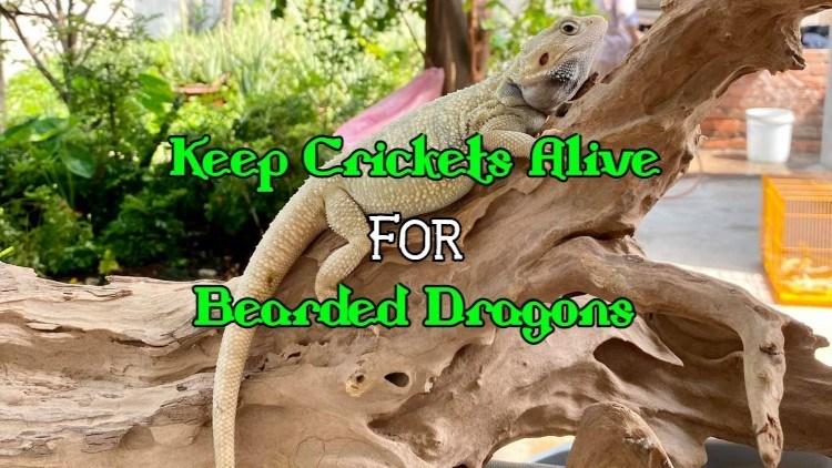 how to keep crickets alive for bearded dragons