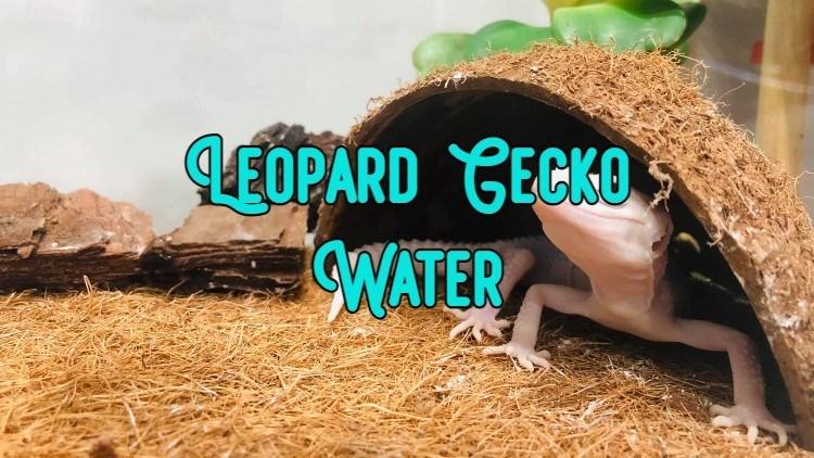 leopard gecko water