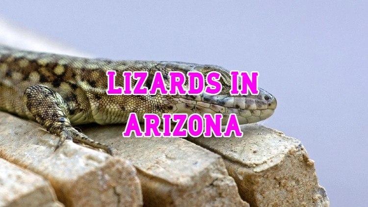 Lizard In Arizona