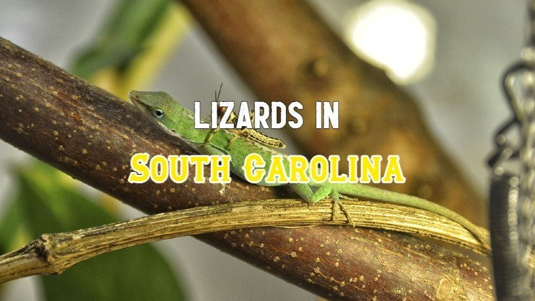 lizards in South Carolina