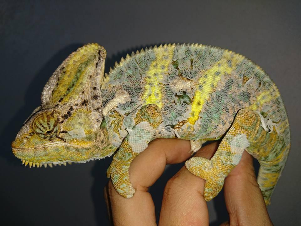 Veiled chameleon shedding