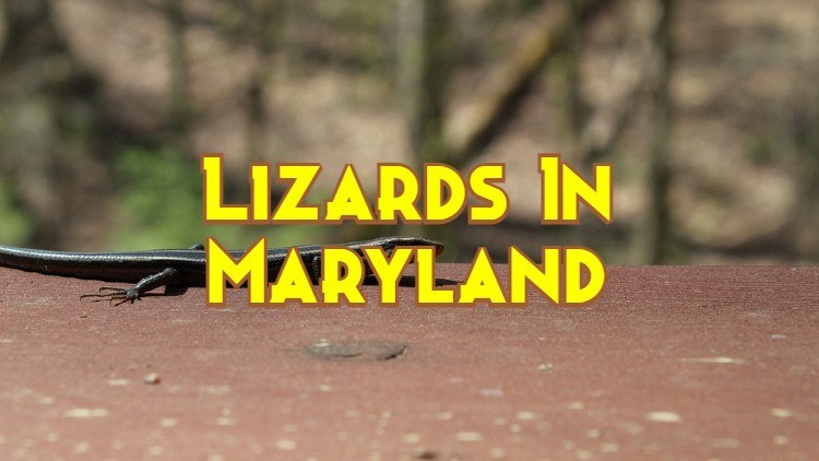 Lizards In Maryland