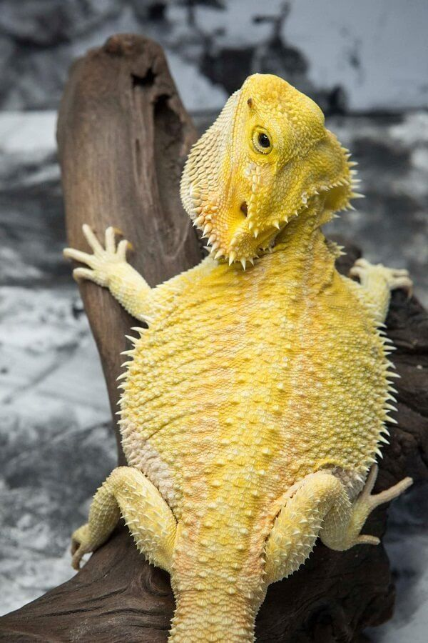 bearded dragon after a meal