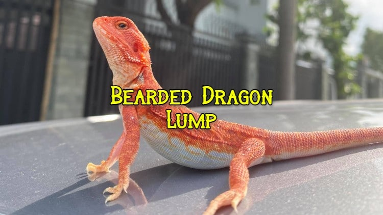 bearded dragon lump