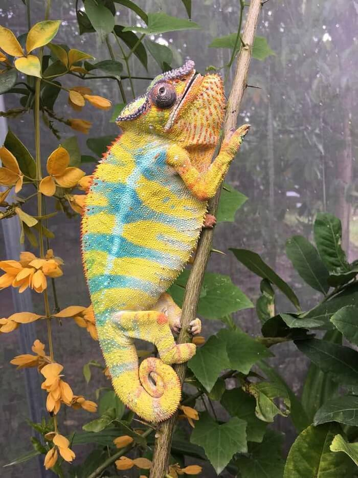 chameleon curved tail