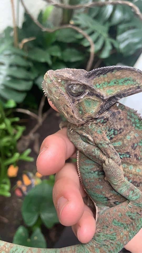 chameleon sunken eyes