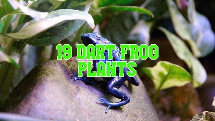 dart frog plants