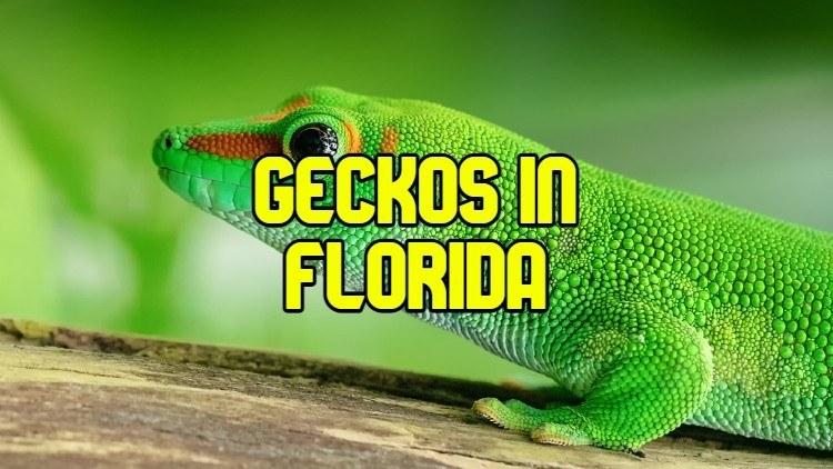 geckos in florida