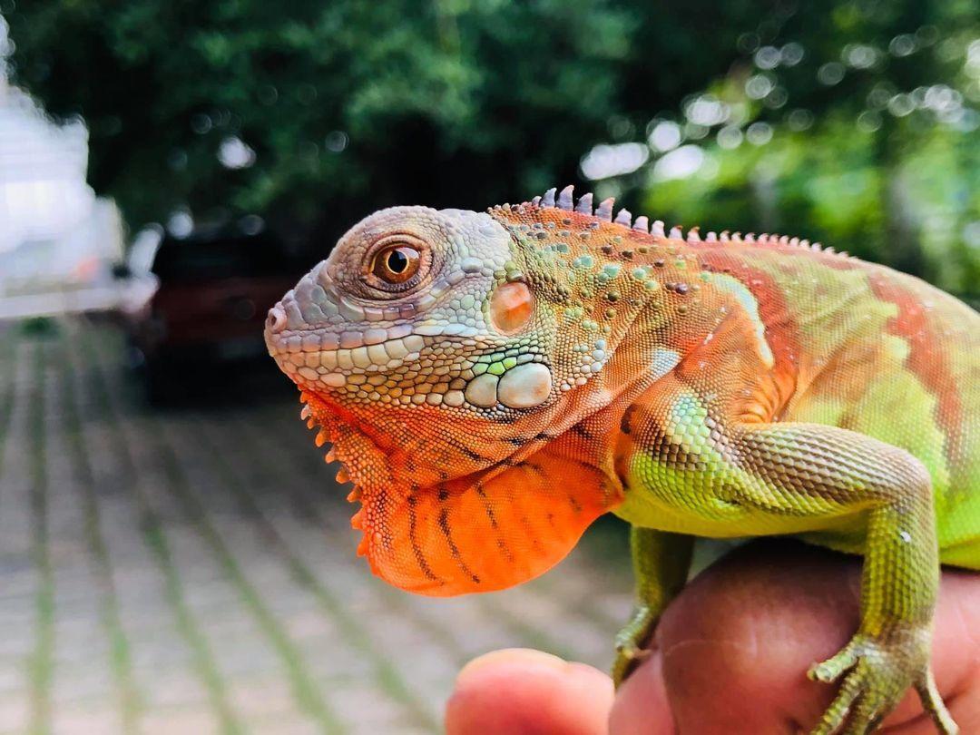 iguana handling