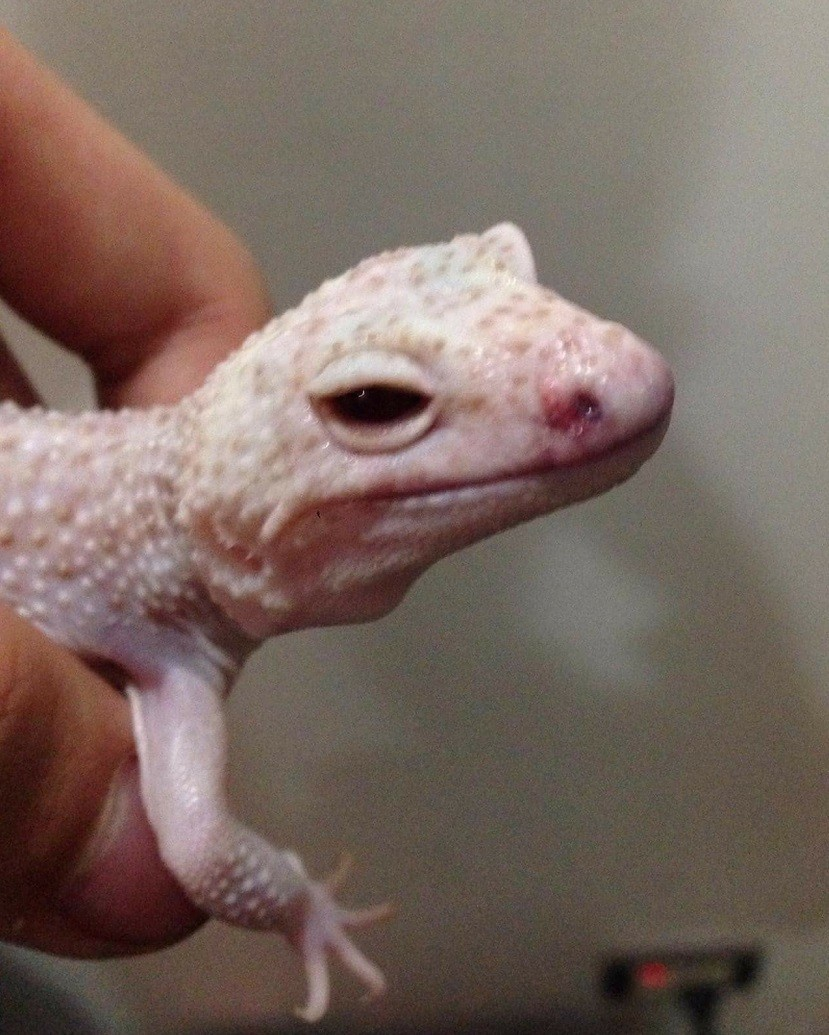 leopard gecko mouth rot