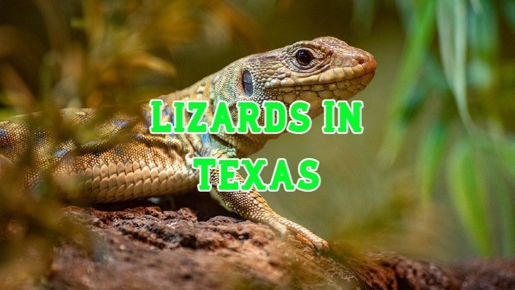 lizard in Texas