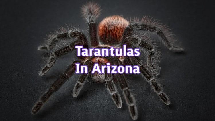 Tarantulas In Arizona