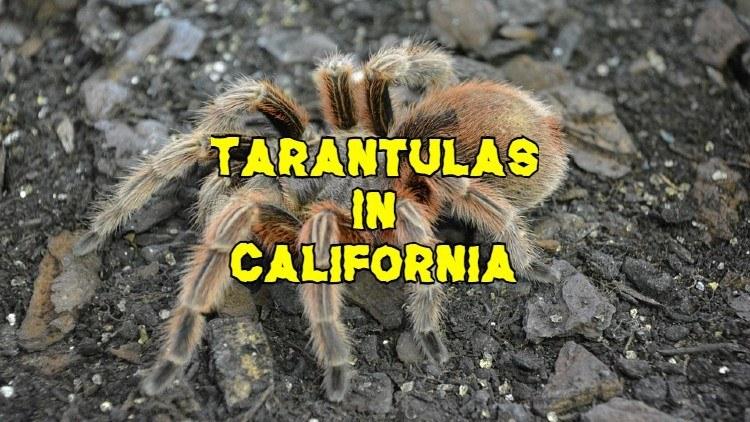 Tarantulas in California
