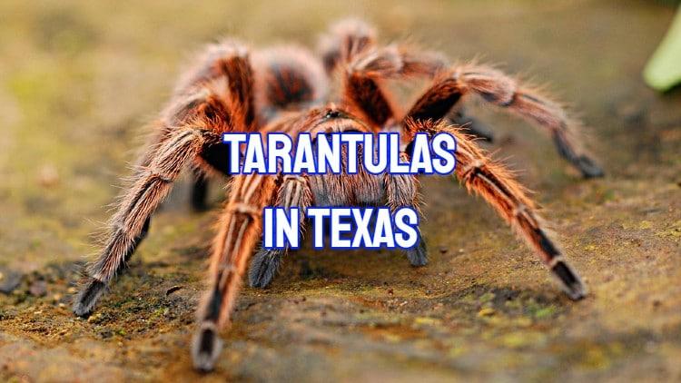 Tarantulas In Texas
