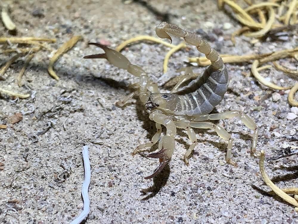 Anuroctonus phaiodactylus