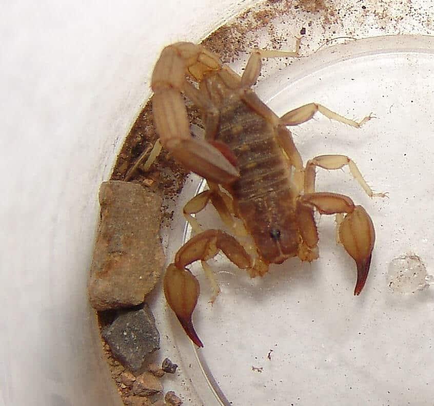 Chihuahuanus crassimanus