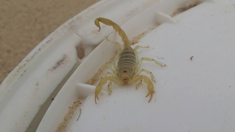 Paruroctonus utahensis