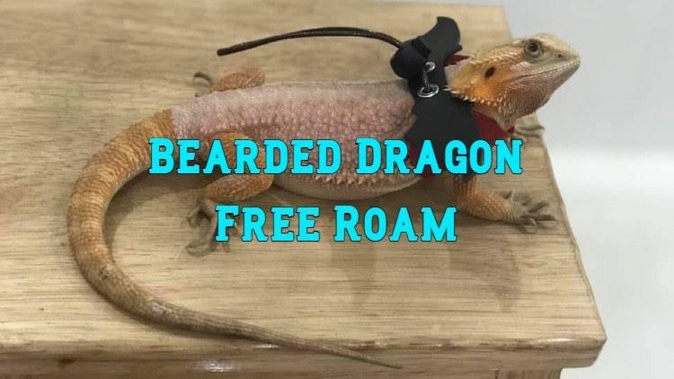 bearded dragon free roam
