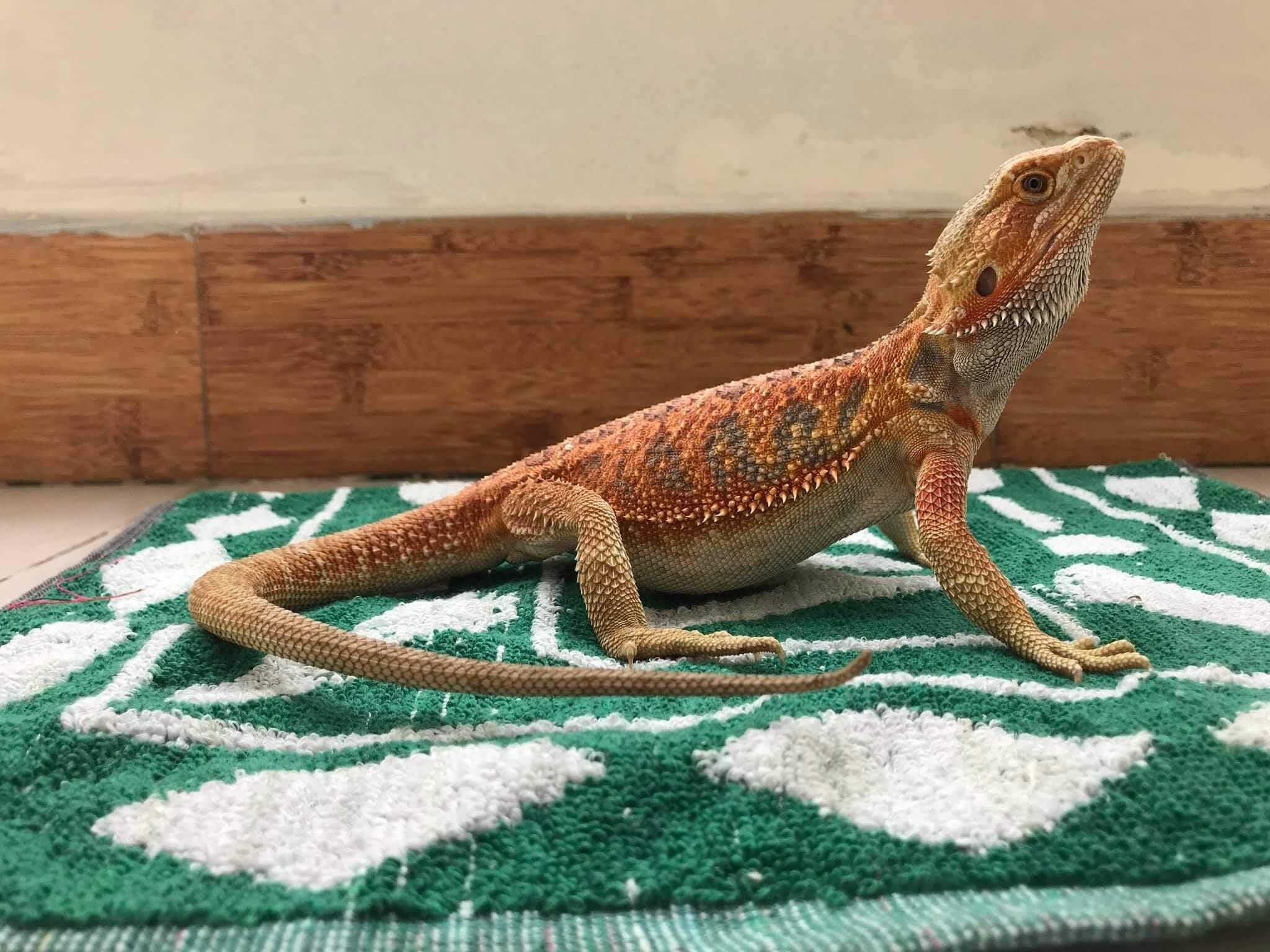 bearded dragon on carpet