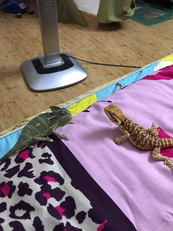 bearded dragon with chameleon