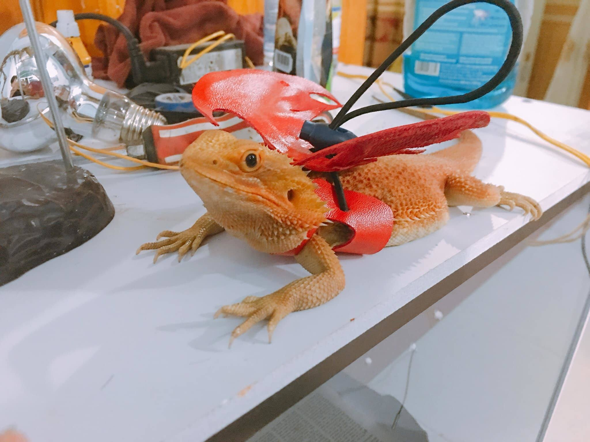 bearded dragon with harness